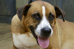 Happy dog. A very happy and grinning boxer mixed breed dog stock images