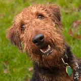 Happy dog. Happy, wet, airedale terrier dog in front of a green background outdoors royalty free stock photography