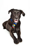 Happy dog. Wearing a collar and tags on white background Stock Images
