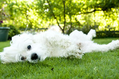Happy dog. A happy maltese dog on the grass Stock Images