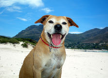 Happy Dog. Dog on the beach, Hout Bay, Cape Town Royalty Free Stock Image