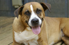 Happy dog 2. A very happy and grinning boxer mixed breed dog stock images