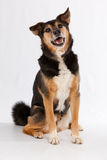 Happy dog. Cute happy dog sitting and smiling Stock Photos