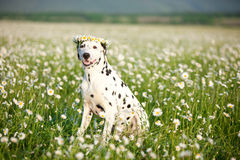 Happy dog Royalty Free Stock Photography