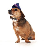 Happy dog. A little dachshound happy dog Stock Photos