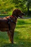 Happy dog. A healthy looking young dog Royalty Free Stock Photos