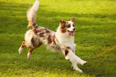 Happy dog. A picture of a very happy dog running on the green grass Royalty Free Stock Photos