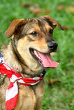 Happy Dog. Patriotic dog at a carnival wearing the American flag as a scarf Stock Image