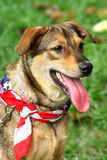 Happy Dog. Patriotic dog at a carnival wearing the American flag as a scarf Stock Photos