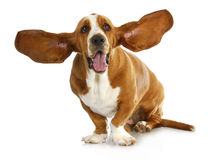 Happy dog. Basset hound with royalty free stock photos