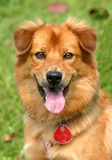 Happy dog. Portrait of a beaming happy golden furred dog Royalty Free Stock Photography