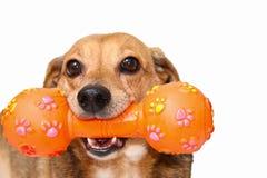 Happy dog. Play with the plastic orange bone Stock Image