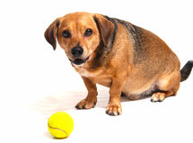 Happy dog. Play with theyellow ball Royalty Free Stock Photos