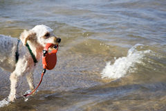 Happy dog. Small light colored dog in the water Stock Photography