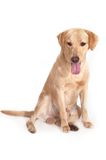 Happy dog. An image of a Tan colored Labrador dog over white Royalty Free Stock Photography