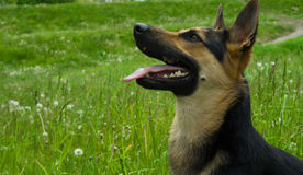 Happy dog. Outdoor in sunny day Royalty Free Stock Photography