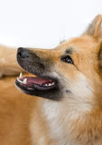 Happy dog royalty free stock image