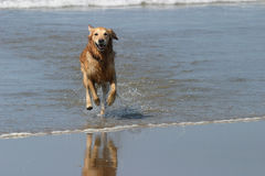 Happy Dog. Labrador bounding through the surf stock images