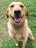 Happy dog. A retriever/lab mix dog looking up at the camera with a smile on his face stock image