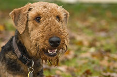 Happy dog. An airedale terrier, in front of a fall backdrop, smiling for the camera royalty free stock photography