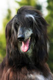 Happy dog Afghan hound Royalty Free Stock Image