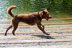 Happy Dog with Ball. Very happy brown dog running with a red tennis ball in mouth. Canine runs along side of a river at a dog park on a hot and sunny day Stock Photo