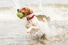 Happy Dog With Ball On The Beach. Jack Russell Terrier Running On The Beach With His Favorite Toy stock photos