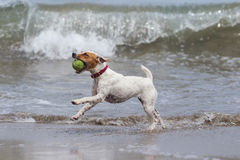 Happy Dog With Ball. Jack Russell Terrier Running On The Beach With His Favorite Toy royalty free stock photo