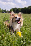 Happy dog with ball. A happy dog (sheltie) in the park with a yellow ball Royalty Free Stock Photo