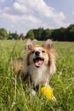 Happy dog with ball. A happy dog (sheltie) in the park with a yellow ball Stock Image