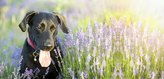 Happy dog banner Royalty Free Stock Photo
