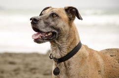 Happy Dog on Beach Stock Photography