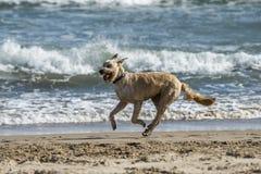 Happy dog at the beach Royalty Free Stock Photos