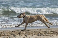 Happy dog at the beach Royalty Free Stock Photo