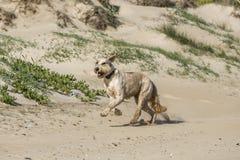 Happy dog at the beach Stock Image