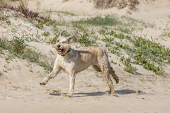 Happy dog at the beach Stock Images