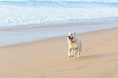 Happy dog on the beach Royalty Free Stock Images