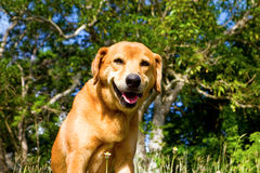 A happy dog on bequia Royalty Free Stock Photo