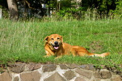 A happy dog on bequia Royalty Free Stock Photos
