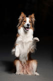 Happy dog border collie shows trick royalty free stock photos