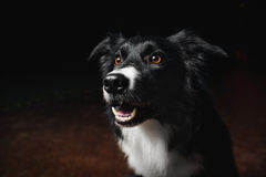 Happy dog border collies Royalty Free Stock Photography