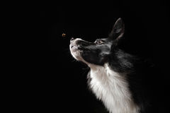 Happy dog border collies shows his tongue Royalty Free Stock Image