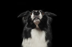Happy dog border collies shows his tongue Stock Images