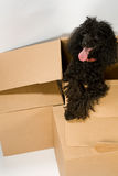 Happy dog in box Stock Image
