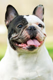 Happy dog of breed French bulldog black and white in color Royalty Free Stock Photos