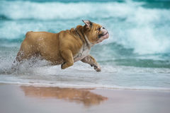 Happy dog Bulldog running at the sea