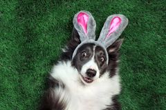 Happy dog with bunny ears on grass stock photography