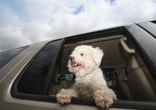 Happy Dog In Car. Happy, smiling little bichon frise dog traveling in the car with the window down enjoying the ride on a beautiful day