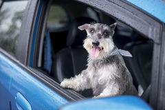 Happy dog in a car. Happy dog in a car Royalty Free Stock Photography