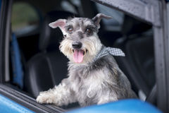 Happy dog in a car. Happy dog in a car Royalty Free Stock Images